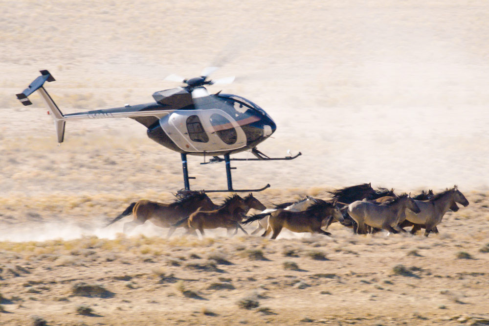 Low helicopter chasing horses